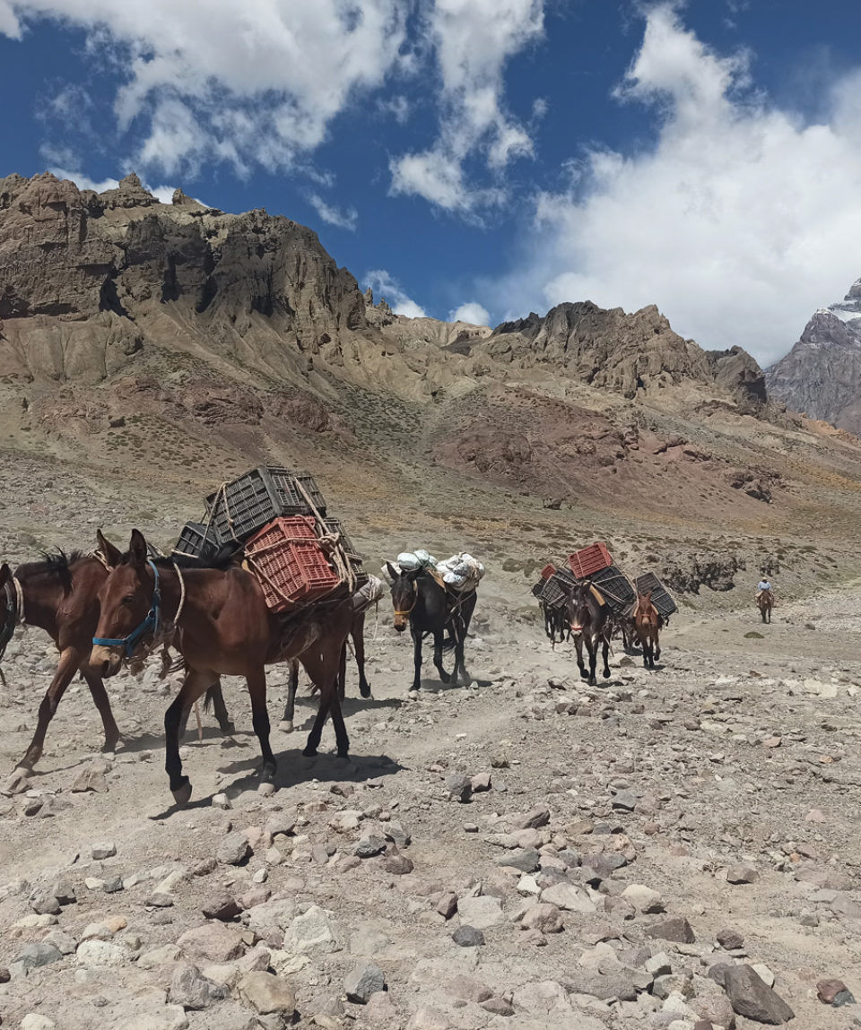 mules returning from basecamp as we head to pl de argentina