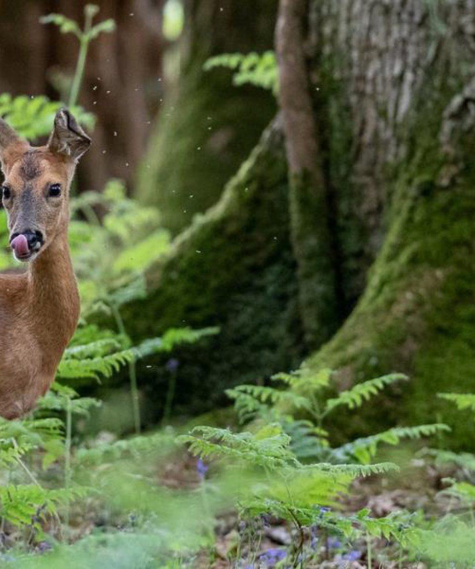 Newforest deerx